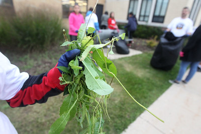 Candace H. Johnson-For Shaw Media Stanton's Logan Hamm, 11, of Fox Lake shows the weeds he pulled at Grant Community High School during Fox Lake Grade School District 114's 5th Annual Day of Service. (9/27/19)