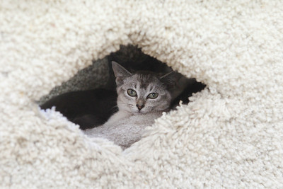 Candace H. Johnson-For Shaw Media A cat named, Sylvia, peaks out of her kitty condo at Fat Cat Rescue in Wadsworth.  (10/6/19)