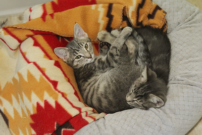 Candace H. Johnson-For Shaw Media Two gray tabby kittens sleep together in the barn at Fat Cat Rescue in Wadsworth.  (10/6/19)