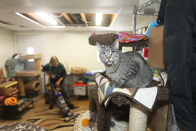 Candace H. Johnson-For Shaw Media A cat sits on a climbing tower while Carol Laffredi, of Winthrop Harbor, a volunteer, vacuums a room in the barn at Fat Cat Rescue in Wadsworth.  (10/6/19)
