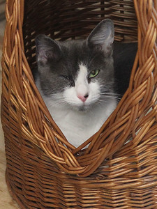 Candace H. Johnson-For Shaw Media A domestic shorthair cat rests in a basket at Fat Cat Rescue in Wadsworth.  (10/6/19)