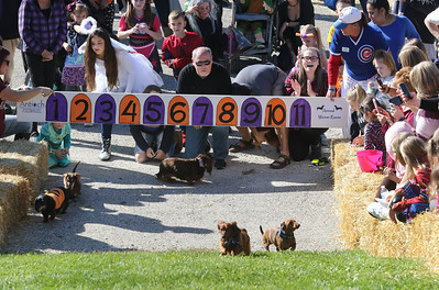 Candace H. Johnson-For Shaw Media Dachshunds compete in the Wiener Races during Harvest Fest at the William E. Brook Entertainment Center in Antioch. (10/19/19)