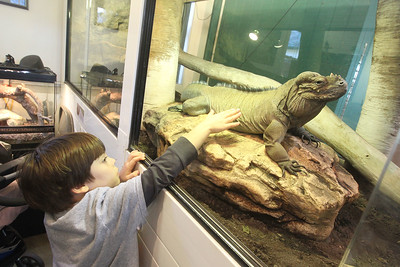 Candace H. Johnson-For Shaw Media Georgi Battersby, 7, of Chicago touches a Rhinocerus Iguana named, Flora, during CROCtoberfest at the Wildlife Discovery Center in Lake Forest. (10/27/19)