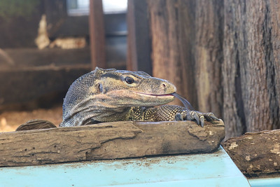 Candace H. Johnson-For Shaw Media An Asian water monitor named, Grug, donated by actor, Nicolas Cage, sits in his enclosure during CROCtoberfest at the Wildlife Discovery Center in Lake Forest. (10/27/19)