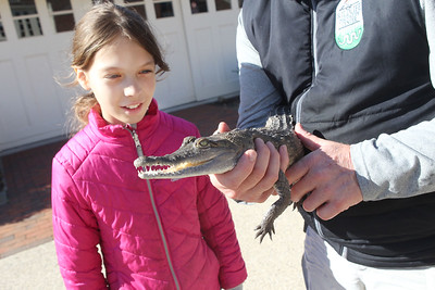 Candace H. Johnson-For Shaw Media Krista Jelinek, 10, of Chicago looks at a Orinoco crocodile named, Rosalita, held by Rob Carmichael, curator, during CROCtoberfest at the Wildlife Discovery Center in Lake Forest. (10/27/19)