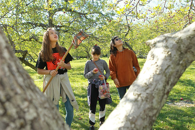 Candace H. Johnson-For Shaw Media Mayumi Dogadalski, of Libertyville (on right) picks apples with her daughters, Lena, 13, and Yuki, 11, at Heinz Orchard in Green Oaks. (9/19/20)
