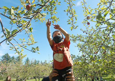 Candace H. Johnson-For Shaw Media Benjamin Grzelak, 4, of Libertyville gets a lift from his father, Andrew, as they pick apples at Heinz Orchard in Green Oaks. (9/19/20)