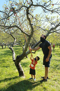 Candace H. Johnson-For Shaw Media Benjamin Grzelak, 4, of Libertyville gets some help from his father, Andrew, using a picking stick to pick an apple off of a tree at Heinz Orchard in Green Oaks. (9/19/20)