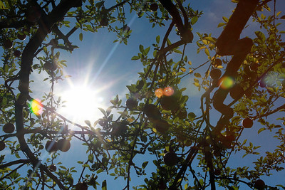 Candace H. Johnson-For Shaw Media Apples waiting to be picked on a sunny day at Heinz Orchard in Green Oaks. (9/19/20)