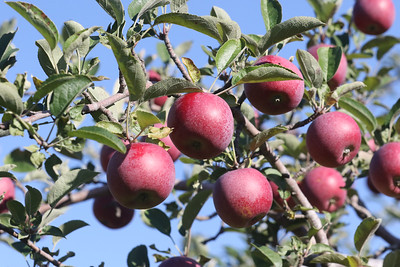 Candace H. Johnson-For Shaw Media Visitors can pick Jonathan apples at Heinz Orchard in Green Oaks. (9/19/20)