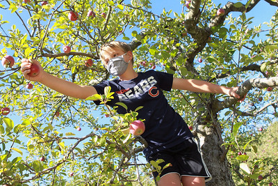 Candace H. Johnson-For Shaw Media Andrew Steffe, 9, of Libertyville climbs a tree as he reaches for an apple at Heinz Orchard in Green Oaks. (9/19/20)