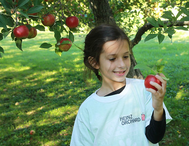 Candace H. Johnson-For Shaw Media Thalia DeMoon, 6, of Libertyville looks at an Empire apple she picked at Heinz Orchard in Green Oaks. Thalia's family runs the orchard. (9/19/20)