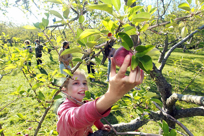 Candace H. Johnson-For Shaw Media Leah Nisenbaum, 11, of Vernon Hills picks a McIntosh apple at Heinz Orchard in Green Oaks. (9/19/20)