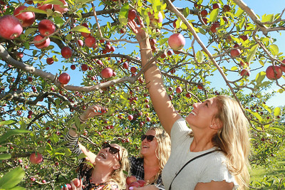 Candace H. Johnson-For Shaw Media Layna Schubert, Allie White, both of Vernon Hills and Dena Franchi, of Buffalo Grove pick apples at Heinz Orchard in Green Oaks. (9/19/20)