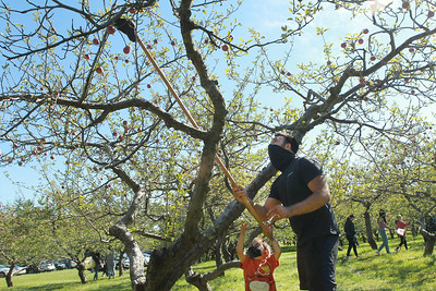 Candace H. Johnson-For Shaw Media Benjamin Grzelak, 4, of Libertyville gets some help from his father, Andrew, using a picking stick as they pick apples at Heinz Orchard in Green Oaks. (9/19/20)