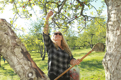 Candace H. Johnson-For Shaw Media Allie White, of Vernon Hills picks an apple at Heinz Orchard in Green Oaks. (9/19/20)