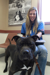 Sarah Minor — sminor@shawmedia.com Hank, a pit bull available for adoption at Hinsdale Human Society, is taken out of his cage by adoption counselor Katie Wolfe on Friday, Feb. 1, while the center was giving out free spay and neuter vouchers for pit bulls.