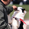 Jeff Krage – For the Kane County Chronicle<br /> Rosie, owned by Bill Alar of St. Charles, participates in the best trick competition during Saturday's dog festival at Lord of Life Church in LaFox. <br /> LaFox 9/22/12