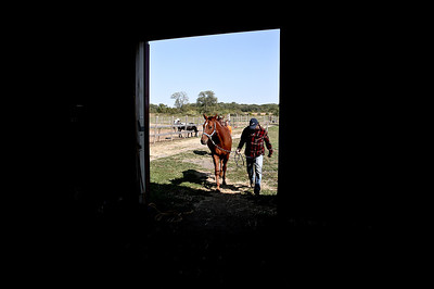 Josh Peckler - Jpeckler@shawmedia.com Mike Torrance of Marengo walks Macho into a barn to be fed at Destination Safe Haven Horse Rescue and Retirement in Marengo  This summers drought has made it very difficult for horse owners and horse rescues such as Destination Safe Haven have seen a rise in horse abandonment. © Northwest Herald