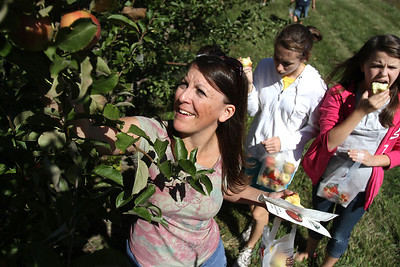 Mike Greene - mgreene@shawmedia.com Becky Rantanen, of Beach Park, reaches to grab an apple from a tree at Royal Oak Farm Orchard Tuesday, September 11, 2012 in Harvard. An early freeze combined with drought conditions cut this year's harvest at the farm by about 70%, causing the orchard to limit the amount pickers can take to about 10 apples.
