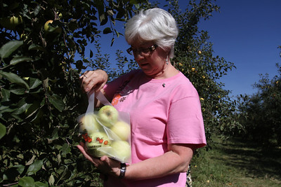 Mike Greene - mgreene@shawmedia.com Mary Ann Danko, of Ingleside, checks her bag while picking apples at Royal Oak Farm Orchard Tuesday, September 11, 2012 in Harvard. An early freeze combined with drought conditions cut this year's harvest at the farm by about 70%, causing the orchard to limit the amount pickers can take to about 10 apples.