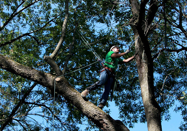 Chris Scott of Graf Tree Care in St. Charles removes dead branches from a tree on personal property in West Chicago Wednesday morning. (Sandy Bressner photo)