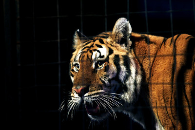 Sarah Nader - snader@shawmedia.com A Tiger looks out into the crowd during the Kelly Miller Circus at Milky Way Park in Harvard on Sunday, September 9, 2012.