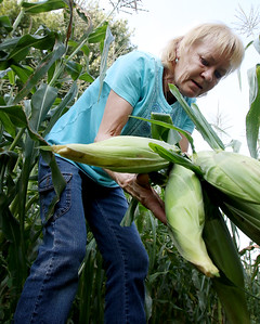 hnews_adv_harvest_corn_