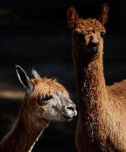 hnews_sun0927_Alpaca_Days_06