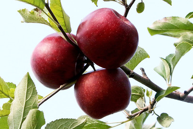 LCJ_0929_Apple_Orchard_I