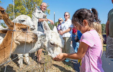 Mike Greene - For Shaw Media  Sophia Carrion, 5, of Woodstock, feeds a group of alpacas grain during the 3rd annual McHenry County Farm Stroll Sunday, September 24, 2017 at ALsPACAs of Dutch Mill Farms in Harvard. This year's free event included 12 farms featuring apple orchards, vegetable growers, dairy cows, beef cattle, pigs, sheep, goats, chickens, turkeys, horses, alpacas, honey bees, perennial plants, hydroponics and more.