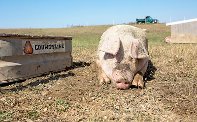 Mike Greene - For Shaw Media  A pig rests next to a water trough at Thornpaw Lea Farm during the 3rd annual McHenry County Farm Stroll Sunday, September 24, 2017 in Marengo. This year's free event included 12 farms featuring apple orchards, vegetable growers, dairy cows, beef cattle, pigs, sheep, goats, chickens, turkeys, horses, alpacas, honey bees, perennial plants, hydroponics and more.