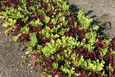 Candace H. Johnson-For Shaw Media A salad mix of romaine, green leaf, red leaf, oak leaf, and arugula is grown at the College of Lake County Campus Farm in Grayslake on display during the Lake County Farm Stroll. (9/16/18)