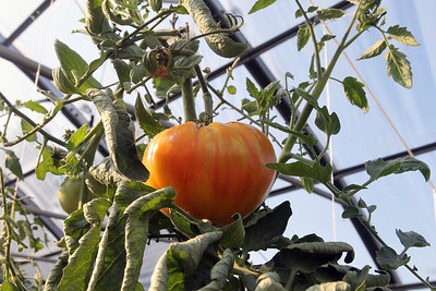 Candace H. Johnson-For Shaw Media Striped German heirloom tomatoes grown in a high tunnel at the College of Lake County Campus Farm in Grayslake were seen during the Lake County Farm Stroll. 250 tomato plants with different varieties of tomatoes are grown on the farm.(9/16/18)