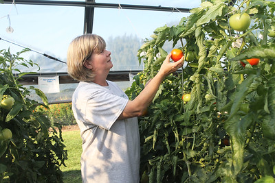 Candace H. Johnson-For Shaw Media Deb Figura, of McHenry, a horticulturist, checks a big beef tomato plant in a high tunnel at the College of Lake County Campus Farm in Grayslake during the Lake County Farm Stroll. (9/16/18)