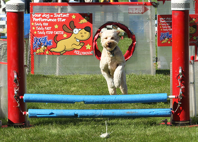 Candace H. Johnson-For Shaw Media Arnie, a two-year-old Goldendoodle, runs and jumps through the Doggie Fun Zone obstacle course chasing a plastic toy during Petpalooza at the Lehmann Mansion in Lake Villa. Arnie's owner, Jenn Zorn, of Grayslake stayed close by watching her dog. (9/23/18)