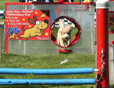 Candace H. Johnson-For Shaw Media Winnie, a two-year-old Goldendoodle, runs and jumps through the Doggie Fun Zone obstacle course chasing a plastic toy during Petpalooza at the Lehmann Mansion in Lake Villa. Winnie's owner, Jenn Zorn, of Grayslake stayed close by to watch her dog. (9/23/18)