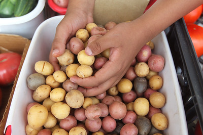 Candace H. Johnson-For Shaw Media Eduardo Jimenez, 16, of Melrose Park shows off the colors of the small potatoes he had for sale as he worked in the Six Generations' Farmin' Local booth at the Antioch Farmer's Market in front of the Bandshell on Skidmore Drive in downtown Antioch. The farmer's market runs every Thursday from 2-6pm. until September 26th. (8/29/19)