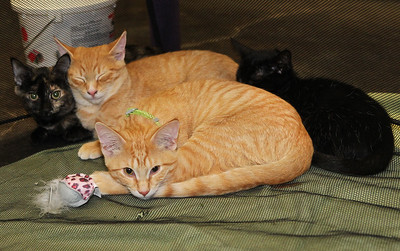 Candace H. Johnson-For Shaw Media A group of three-month-old kittens up for adoption cuddle next to each other during the Spay and Stay Labor Day Weekend Kitten Adoption hosted by Grayslake Feed Sales in Grayslake. (8/31/19)