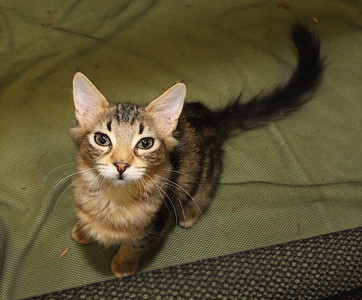 Candace H. Johnson-For Shaw Media Harley, a three-month-old mackerel tabby up for adoption, greets visitors during the Spay and Stay Labor Day Weekend Kitten Adoption hosted by Grayslake Feed Sales in Grayslake. (8/31/19)