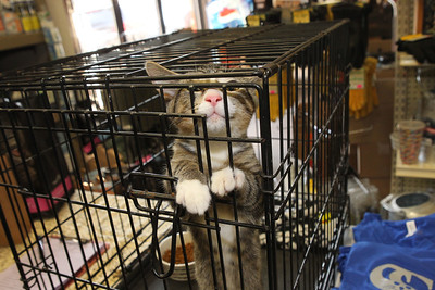 Candace H. Johnson-For Shaw Media Punky, a four-month-old mackerel tabby, greets visitors while standing in his crate during the Spay and Stay Labor Day Weekend Kitten Adoption hosted by Grayslake Feed Sales in Grayslake. (8/31/19)