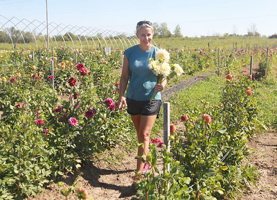Candace H. Johnson-for Shaw Media Tania Cubberly, flower farmer and owner of Skyfall Flowers, puts together a bouquet of Dahlias she just cut in her farm within the Prairie Crossing Farm in Grayslake. Cubberly sells fresh bouquets of her Dahlia flowers at the Libertyville Farmers Market on Thursdays 7am to 1pm through October 21st.   (9/17/21)