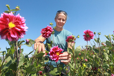 Candace H. Johnson-for Shaw Media Tania Cubberly, flower farmer and owner of Skyfall Flowers, cuts fading flowers on her Dahlia plants that she grows on her farm within the Prairie Crossing Farm in Grayslake. Cubberly sells fresh bouquets of her Dahlia flowers at the Libertyville Farmers Market on Thursdays 7am to 1pm through October 21st.   (9/17/21)