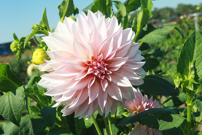 Candace H. Johnson-for Shaw Media A Dahlia flower is in full bloom at Tania Cubberly's flower farm called, Skyfall Flowers, within the Prairie Crossing Farm in Grayslake.  (9/17/21)