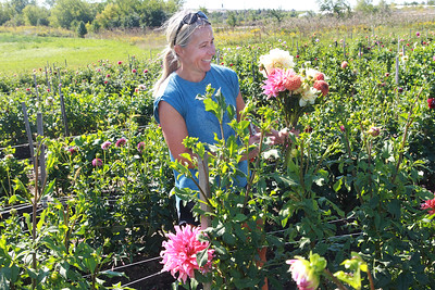 Candace H. Johnson-for Shaw Media Tania Cubberly, flower farmer and owner of Skyfall Flowers, puts together a bouquet of Dahlias that she grows on her farm within the Prairie Crossing Farm in Grayslake. Cubberly sells her Dahlias at the Libertyville Farmers Market on Thursdays 7am to 1pm through October 21st.  (9/17/21)