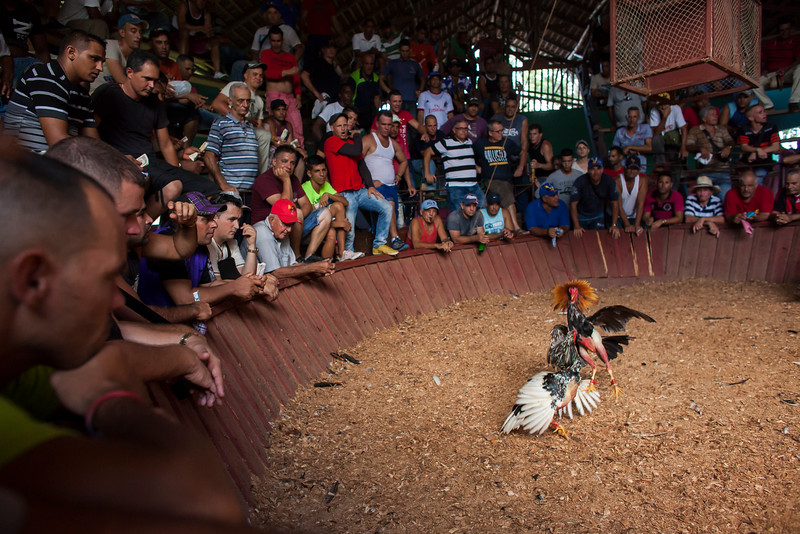 LA PALMA, CUBA - Two roosters attack each other in an arena in a rural area of Cuba. Although cockfights are a well-known Sunday activity, they do not attract the average Cuban. Cockfights are violent and tend to draw mainly hard core fan who enjoy the intensity of the sport and the gambling.