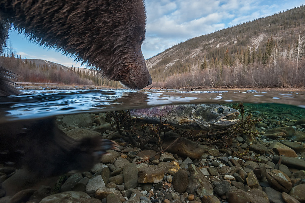 A female Chum Salmon washed up on some tree branches in the Fishing Branch River, providing an easy meal for this sow Grizzly and her cub. The chum salmon run this year is expected to be around 35,000. <br /> <br /> In 1986, the first salmon count on the Fishing Branch River was over 350,000 fish. The mismanagement of the salmon has lead to runs as low as 9,000 fish.