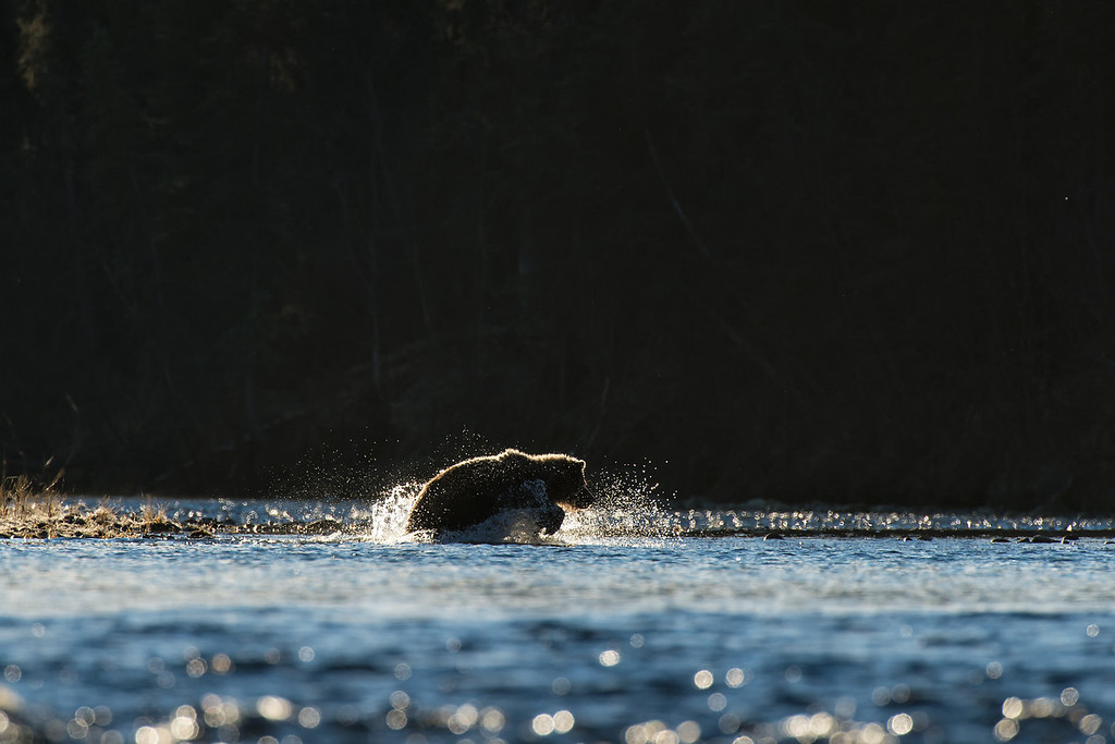 A sub-adult grizzly chases down a salmon on a cool, crisp morning.