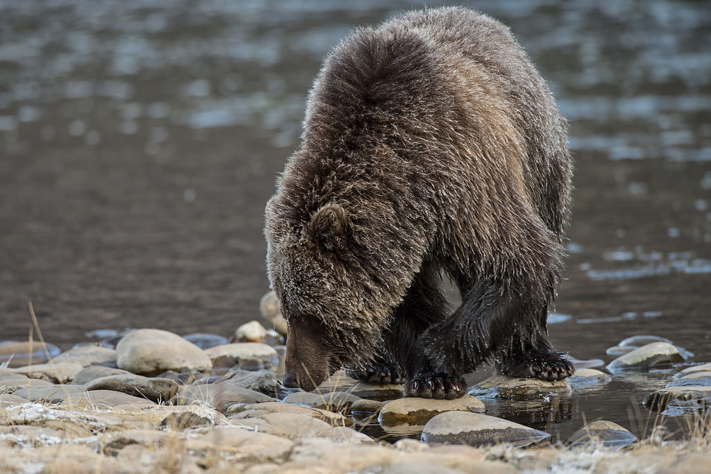 Grizzly Bears in Fishing Branch Park, Yukon, Canada. Known as ice bears, because they fish for salmon in early winter and get covered in icicles. Bear Cave Mountain eco-tours.