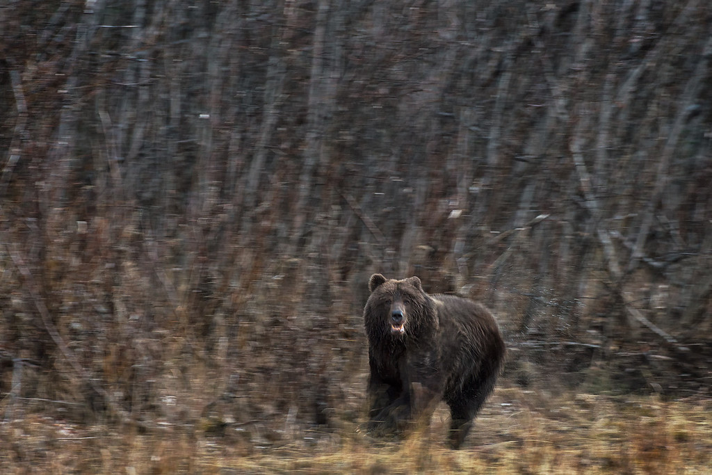 A startled sow Grizzly runs to protect her cub, as a young male grizzly encroaches on her safety.